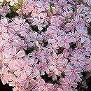 芝桜(シバザクラ) :タマノナガレ(多摩の流れ) 4株セット