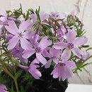 芝桜(シバザクラ):エメラルドクッションブルー4株セット
