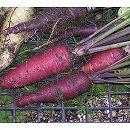 [4〜5月・8〜10月まき 野菜タネ]ニンジン:紫ニンジン パープルスイート