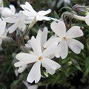 芝桜(シバザクラ):モンブラン(白花)4株セット