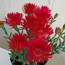 マツバギク:赤花4株セット