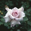 四季咲中輪バラ:志野(しの)新苗