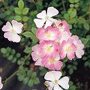 [17年5月中旬予約]シュラブローズ:桜木(さくらぎ)新苗