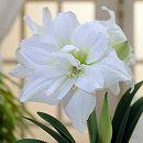 アマリリス大輪八重咲き:ホワイトニンフ1球