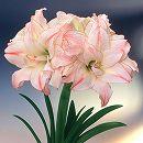 アマリリス八重咲き:アフロダイト(アフロディーテ)1球
