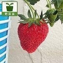 [花・実付き]イチゴ:女峰(にょほう)5号鉢植え