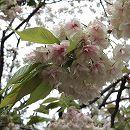 [黄緑色地に緑絞りと赤条線・4月中〜下旬咲]桜:御衣黄(ギョイコウ)接木苗4〜5号ポット