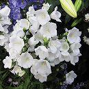 カンパニュラ:パーシフォリアアルバ(白花)3号ポット