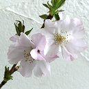 桜:アーコレイド接木苗4〜5号ポット