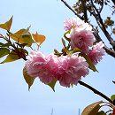 桜:紅華(コウカ)接木苗4〜5号ポット