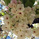 [淡黄緑色の中木性・4月中旬咲]桜:鬱金(ウコン)接木苗4〜5号ポット