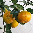 [12月上〜下旬収穫 お正月飾りに 豊産性で糖度が高い柑橘・かんきつ類苗木]小みかん4〜5号ポット