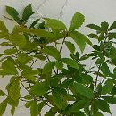 コナラ3.5号ポット樹高60cm 10株セット