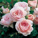 イングリッシュローズ:クィーンオブスウェーデン大苗5号角鉢植え