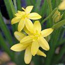 アッツザクラ:黄花アッツザクラ2.5号ポット
