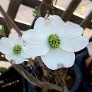ハナミズキ:クラウドナイン(白花種)6号ポット
