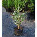 チョウセンモミ:シルバーロック7号ポット樹高40cm