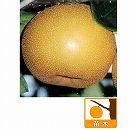 梨(ナシ):長十郎(チョウジュウロウ)4号ポット