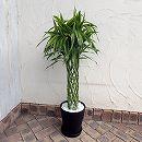 [ギフトに]緑の楽園:ミリオンバンブー(幸運の竹・ドラセナ サンデリアーナ) 8号鉢(受皿付)