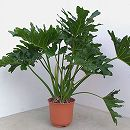 フィロデンドロン セロウム 7号鉢植え