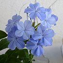 [17年5月中旬予約]プルンバーゴ(ルリマツリ):ブルー3.5号ポット