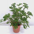 [17年5月中旬予約]蚊連草(蚊よけ植物かれんそう)5号鉢植え