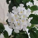 コバノランタナ:ホワイト3〜3.5号ポット2株セット