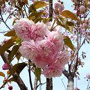 桜:紅笠(ベニガサ)接木苗4〜5号ポット