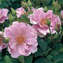 四季咲中輪バラ:紫の園新苗