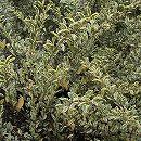 シルバープリペット5号ポット樹高40cm 12株セット