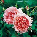 イングリッシュローズ:ストロベリー・ヒル大苗5号角鉢植え