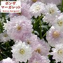 ボンザマーガレット:オペラ咲き(八重咲き)サクラ3.5号ポット