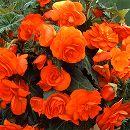 球根ベゴニア八重咲き:オレンジシェード2球入り