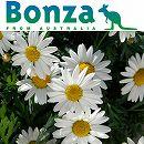 ボンザマーガレット:リーフ咲き(一重咲き)ホワイト3.5号ポット