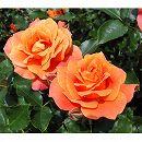 [17年5月中旬予約]四季咲中輪バラ:ディズニーランドローズ新苗