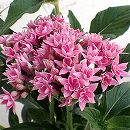 八重咲きペンタス:ライカピンク3.5号ポット