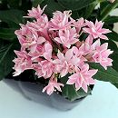 八重咲きペンタス:ライカスモールピンク3.5号ポット