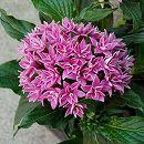 八重咲きペンタス:ライカパープル3.5号ポット