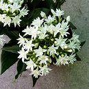 八重咲きペンタス:ライカ ホワイト3.5号ポット