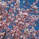 桜(サクラ):神代曙(ジンダイアケボノ)接木苗5号ポット