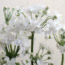 メロンの香りのプリムラ・マラコイデス メローシャワー3.5号ポット(ホワイト)