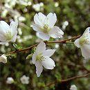 桜:緑桜(ミドリザクラ)接木苗4〜5号ポット