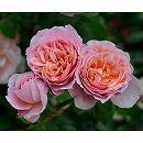 [17年5月中旬予約]デルバールローズ:ダムドゥシュノンソ新苗4号鉢植え