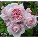 [17年5月中旬予約]デルバールローズ:ナエマ新苗4号鉢植え