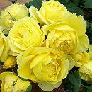 [17年5月中旬予約]デルバールローズ:スブニール・ドゥ・マルセル・プルースト新苗4号鉢植え