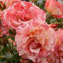 [17年5月中旬予約]デルバールローズ:アルフレッド・シスレー新苗4号鉢植え