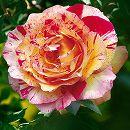 [17年5月中旬予約]デルバールローズ:カミーユ・ピサロ新苗4号鉢植え
