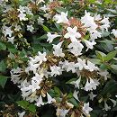 アベリア:グランディフローラ(緑葉白花)4〜5号ポット