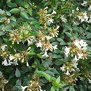 アベリア:グランディフローラ(緑葉白花)5号ポット10株セット