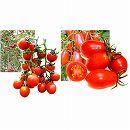 [17年4月中旬予約]マウロのイタリアントマト2種12株セット